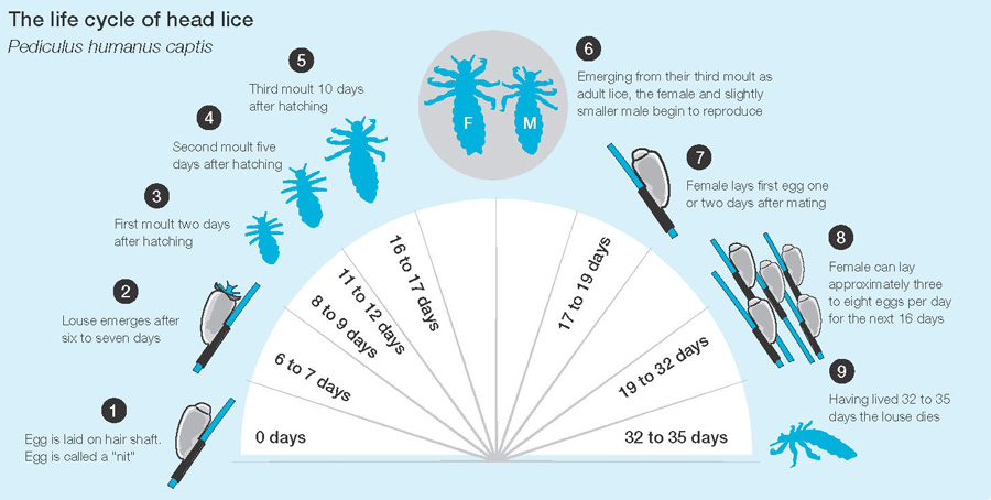 how to prevent head lice  this is the life cycle of head lice to help your idetify and treat headlice